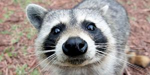 Close up image of a curious raccoon inspecting the camera with a friendly face.
